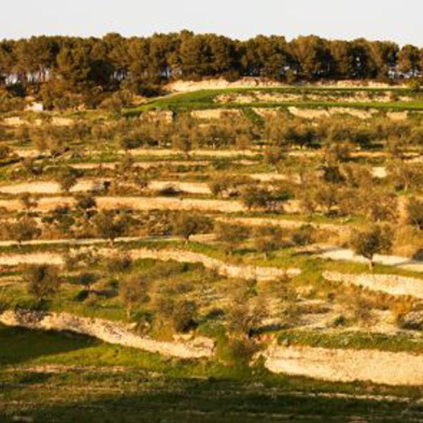 L'Olivera vineyards